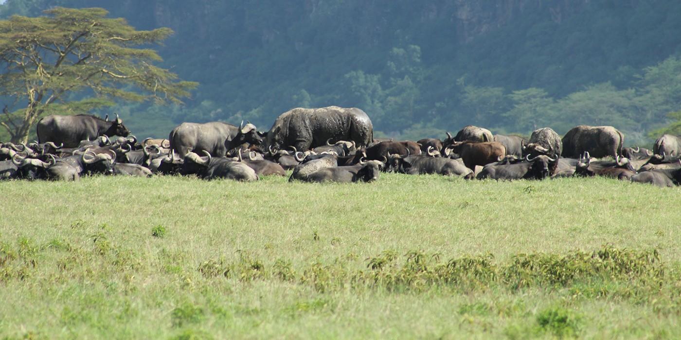 water buffalo on grassland
