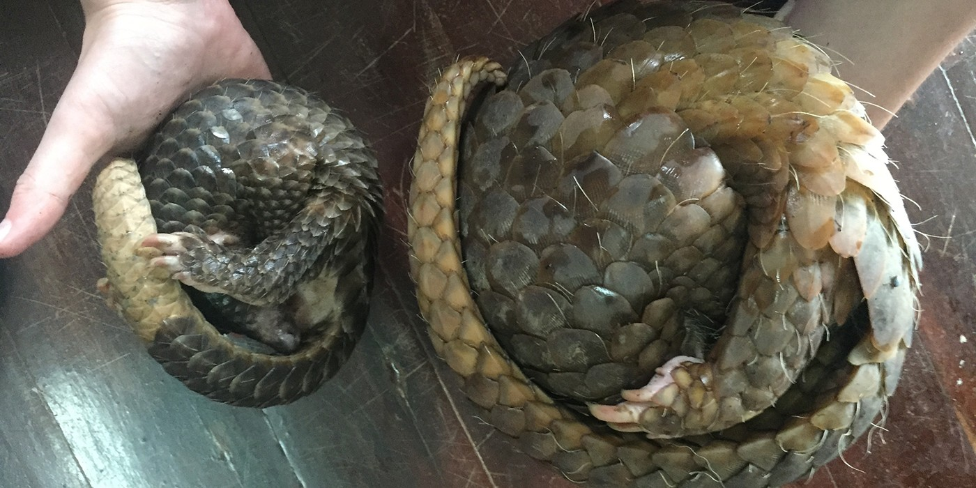 two pangolins curled up in a ball