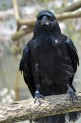 A Mariana crow, a bird with black feathers, perching on a branch.