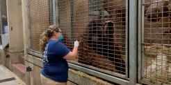 Primate keeper administers a vaccine to a Bornean orangutan through safety mesh