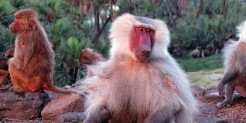Baboons in Ethiopia