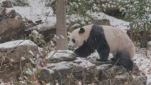 Bei Bei in the snow