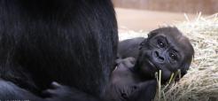 Western lowland gorilla Moke at 7 weeks old.