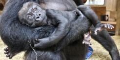 Western lowland gorilla Moke is 9 weeks old.