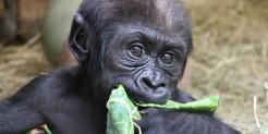 Western lowland gorilla Moke samples some lettuce.