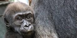 Western lowland gorilla Moke at 23 weeks old.