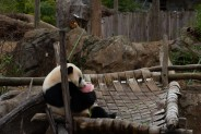 Giant panda Bei Bei sits in a hammock eating a special ice cake treat during the Panda House Warming Celebration at the Smithsonian's National Zoo