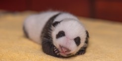 The Smithsonian's National Zoo's 1-month-old giant panda cub.