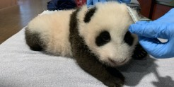 Keeper Marty Dearie measures the Zoo's 9-week-old giant panda cub.