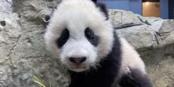 Giant panda cub Xiao Qi Ji climbs the rockwork in his habitat Jan. 14, 2021.