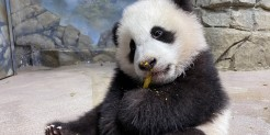 Five-month-old giant panda cub Xiao Qi Ji takes his first taste of cooked sweet potato Jan. 21, 2021.
