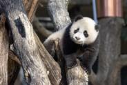 Giant panda cub Xiao Qi Ji climbs atop a structure made of criss-crossed logs.