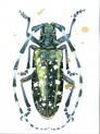 An Asian longhorned beetle illustrated by artist Maggie Gourlay