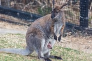 An approximately 5-month-old wallaby joey sticks its head out of its mom's pouch.