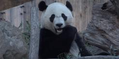giant panda bei bei eating bamboo