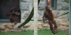 Orangutan Redd, who turned 3 years old Sept. 12, 2019, swings on a rope at Think Tank.