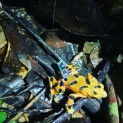 Variable Harlequin Frogs Return to the Wild
