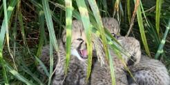 three cheetah cubs in the grass