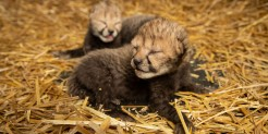 two cheetah cubs with their eyes closed lay in hay