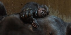Western lowland gorilla infant Moke rests on the chest of his mother Calaya