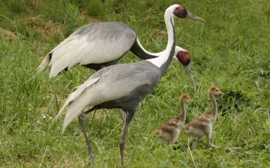 Two adult white-naped cranes and chicks