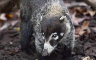A white-nosed coati standing on all fours on the ground