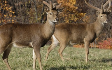 Two eld's deer with large horns stand in the grass against a backdrop of trees with orange leaves