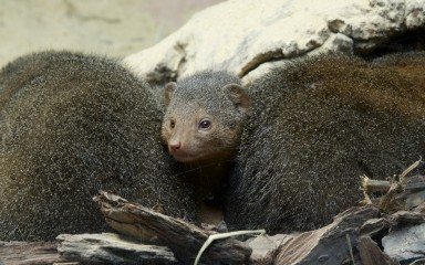 A dwarf mongoose and the back of a second dwarf mongoose