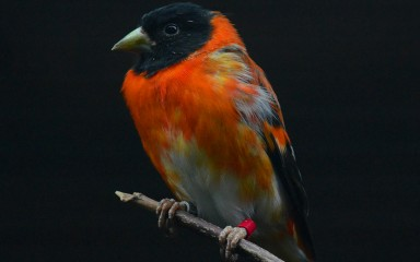 A red siskin bird perched on a tree branch