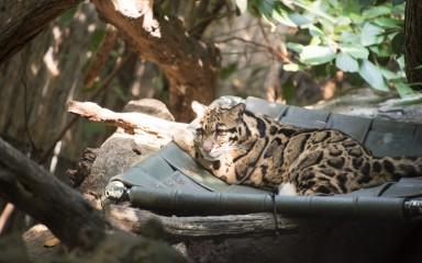 Clouded leopard resting in a green hammock