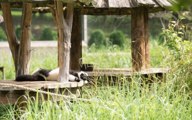 Black and white ruffed lemur laying on a wooden structure in the grass