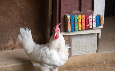 A white domestic chicken with a colorful xylophone in the background