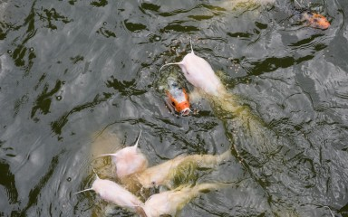 An orange and white Japanese koi fish swimming with channel catfish in a pond
