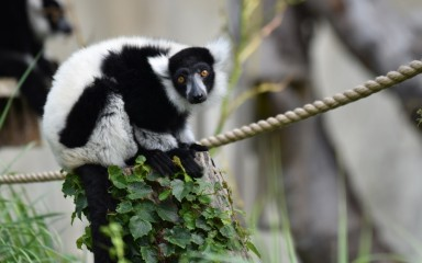 Black and white ruffed lemur sitting on top of a rope and green leaves