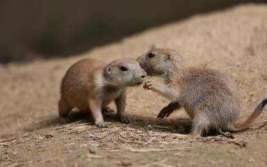 Two baby prairie dogs interacting