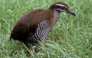 A Guam rail bird standing in the grass