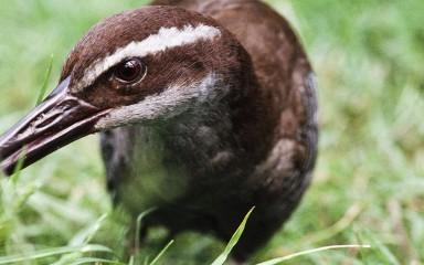 A close-up photo of a Guam rail bird in the grass