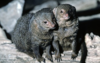 Two dwarf mongooses standing on a rock