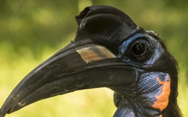 hornbill closeup of face