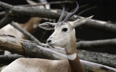 Closeup of head of small, deerlike animal with upwardly curved horns and a whitish head with contrasting brown neck