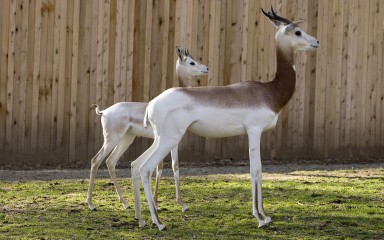 Two small hoofed animals with white underparts and brown backs and necks. One has graceful curved horns, the other little spikes