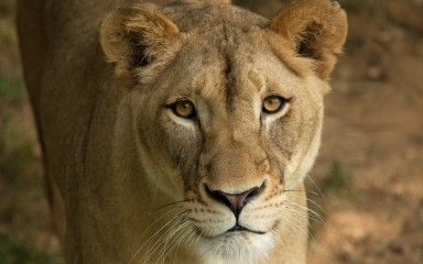Closeup of female lion with pale brown fur and yellow eyes