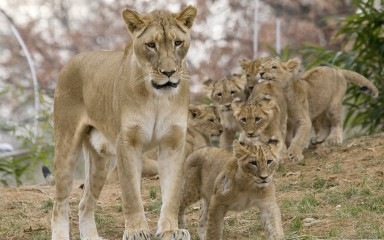 Young lions frolicking with mom