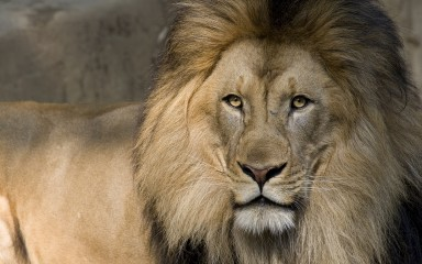 Closeup of male lion iwth long flowing mane and piercing yellow eyes