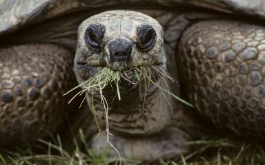 Closeup of a large turtle with a tuft of grass hangin out of its mouth.