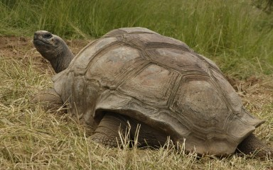 Rear view of an enormous turtle showing the shell flaring at the rear. Several large scutes are visible on its back.