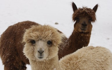 A tan and a dark brown alpaca with curly fur
