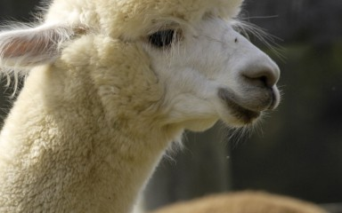 The profile of an alpaca with white fur
