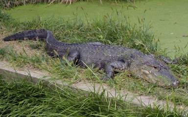 A large blackish lizard-like reptile is basking in the grass with a long wavy tail trailing out behind.