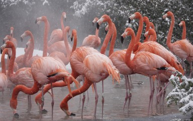 large pink flock of long-necked, long-legged birds standing in steamy pond with snow visible in the background